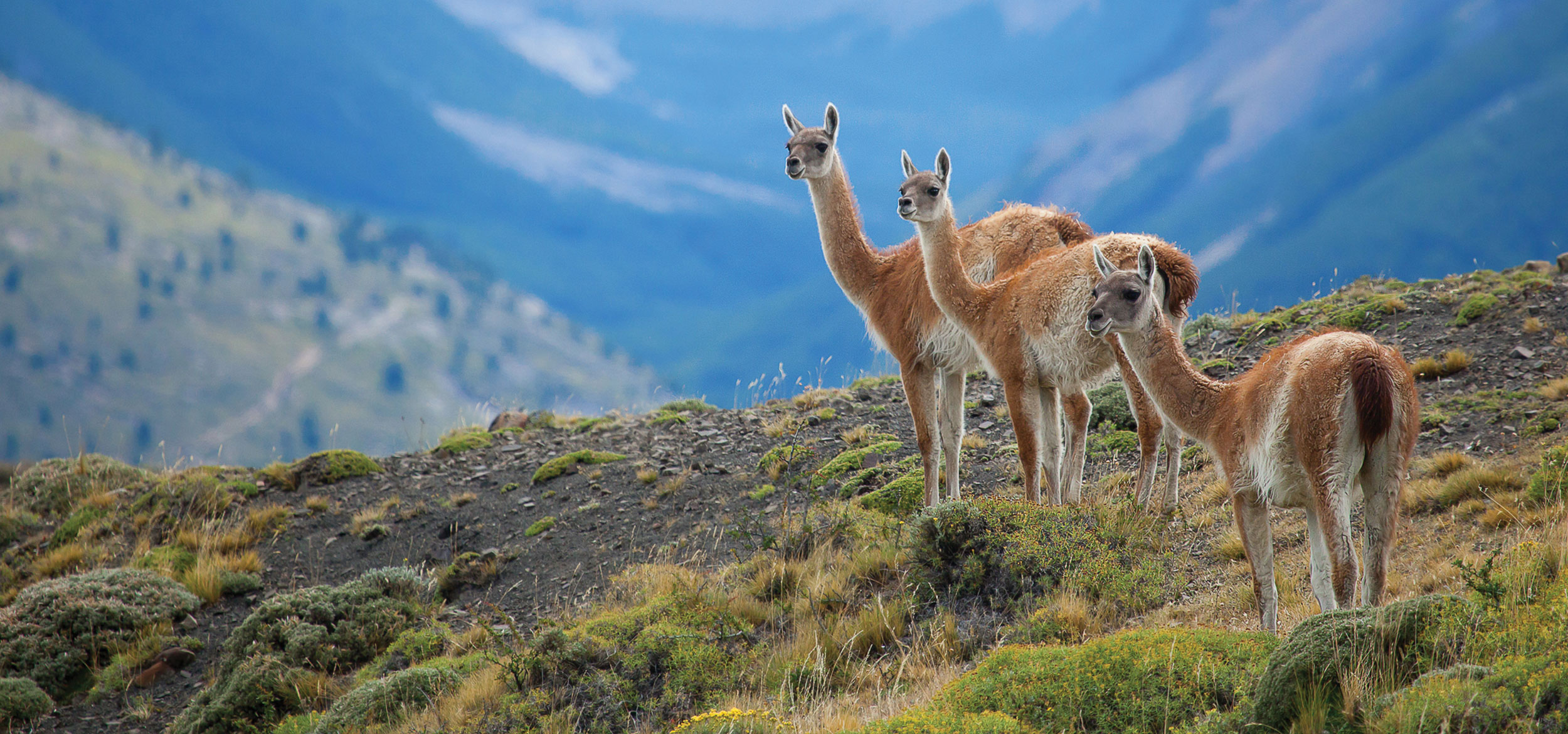 Three guanacos in Torres del Paine National Park in Chile.