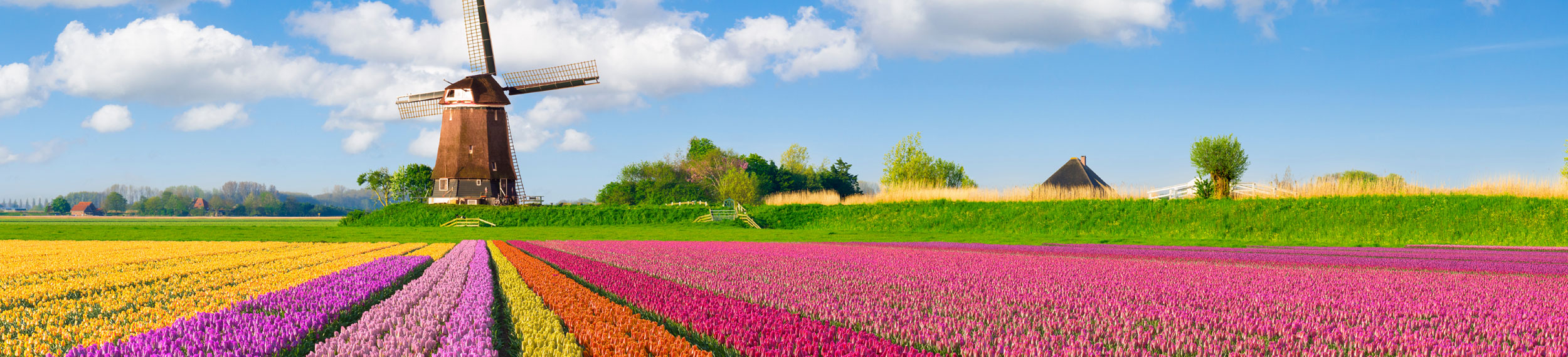 Color rows of tulips and a windmill in the background in The Netherlands.